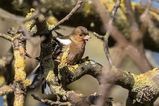 Chaffinch  -  Buckfink
