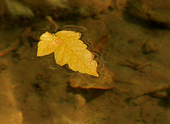 Leaf (arbyreed) Tags: arbyreed smileonsaturday onesingleleaf leaf water leaffloatingonwater stream creek brook fall