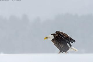 American bald Eagle / Pygargue à tête blanche