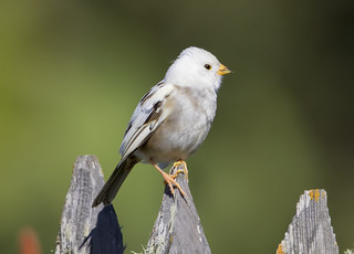 Leucistic White-crowned Sparrow