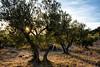 Oliviers,-vallée-des-Baux-2 (RS...) Tags: oliviers olivetrees bauxdeprovence provence d7200