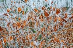 Buchenlaub im Eis (anubishubi) Tags: blätter leaves raureif ice eis winter wald forest herbstlaub lumixtz101 hoarfrost