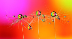 . (Lorraine1234) Tags: dandelion drops macro colors refraction focusstacking
