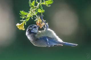 Blue Tit (Cyanistes caeruleus), juvenile-0197