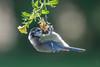 Blue Tit (Cyanistes caeruleus), juvenile-0197 (Stein Arne Jensen) Tags: alitoaigaccet bird blaumeise bluetit blåmeis buskerud canonef100400f4556lisusm canoneos70d chapimazul cyanistescaeruleus europa europe fugl herrerillocomún kongsberg kongsgårdmoen mésangebleue norway pajaro scandinavia sperlingsvögel spurvefugler steinarnejensen vogel avescanoras inmygarden lintu oiseau passereaux passeriformes passerines perchingbirds pájaros singvögel songbirds европа лазоревка птица أوروبا العصفوريات यूरोप アオガラ スズメ目 ヨーロッパ 歐洲 雀形目 青山雀 鳥 鸟 유럽