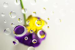 Pansy refracted in droplets on glass (abiward) Tags: pansy flower droplet waterdroplets droplets refraction purple yellow macro macrophotography closeup nikond600 nikon