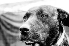 Oggi vi presento Tigro (andaradagio) Tags: andaradagio bianconero bw canon dog cane miglioramicodelluomo nadiadagaro rifugioohana bandaa4zampeumbria