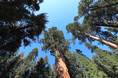 The General and His Soldiers (H. P. Filho) Tags: dslr apsc canoneosrebelt5i canonefs1018mmf4556isstm digitalphotoprofessional sequoia sequoianationalpark california trees sky green blue faved 2fav 50view 100view 250view 500view