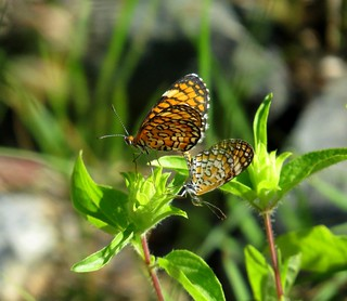 Together! Tiny checkerspot (Microtia dymas) butterflies, mating, Montosa Canyon, Tucson area, Aug 2017