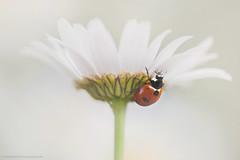 Ladybird (S W Mahy) Tags: ladybird ladybug insect guernsey guernseymacro garden channelislands flower daisy 7 spot seven