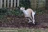 Toby at play (Rex Montalban Photography) Tags: rexmontalbanphotography toby dog whippet