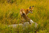 Shake a tail... of fur (ChicagoBob46) Tags: redfox fox yellowstone yellowstonenationalpark nature wildlife coth5 ngc sunrays5