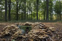 Bulskampveld - Beernem - Belgium (wietsej) Tags: bulskampveld beernem belgium rx10 rx10m4 iv mushroom paddestoel fungus nature sony