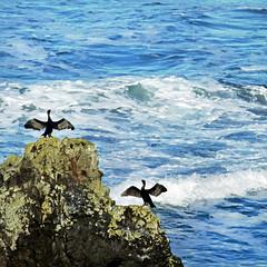 showy shags (1crzqbn) Tags: sliderssunday birds ocean sea reef rock blue airingitout