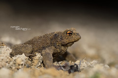 Bufo bufo (Romain Datcharry Wildlife and Nature RDWN) Tags: amphibien amphibian f france anoure crapaud commun crapaudcommun bufo bufobufo bufospinosus