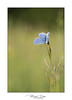 Argus bleu - Polyommatus icarus (Mig 74) Tags: papillondejour lycaenidae argusbleu polyommatinae polyommatusicarusrottemburg1775 rhopalocères 74 lieux animaux flickr domainedeguidou
