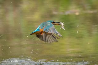 Kingfisher (Alcedo atthis) - Nice catch 500_2121.jpg