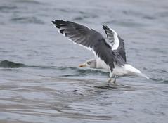 Lesser Black-backed Gull (Christopher Lindsey) Tags: oregon birds birding winter columbiariver mcnarydam lesserblackbackedgull bentoncounty washington umatillacounty