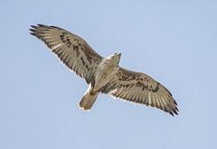 Ferruginous Hawk (adult) (Jerry Ting) Tags: pattersonpassrd livermore california ferruginoushawk adult