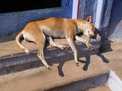varanasi 2017 (gerben more) Tags: sleeping sleepingbeauty dog blue stairs varanasi benares animal pet india