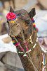 Portrait of a camel (Tim Brown's Pictures) Tags: india rajasthan pushkar camelfestival 2017 camelfair camels decoratedcamels visitors tourists traders
