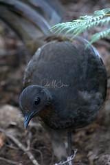 Superb Lyrebird female (Caleb McElrea) Tags: kanangraboyd kanangraboydnationalpark bluemountains worldheritagearea unesco greatdividingrange newsouthwales nsw australia nature wilderness