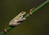 White Treefrog with Cricket (ToriAndrewsPhotography) Tags: white tree frog dangerous reptile workshop photography andrews tori green bokeh cricket food bamboo