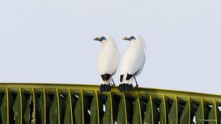 Bali Myna - Bali Starling - Jalak Bali - Balispreeuw - Leucopsar rothschildi -7354