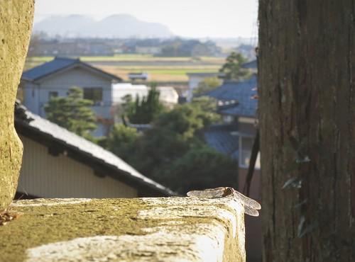 dragonfly sunbath on shrine stone lantern