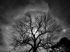 Sun Halo and Sundog wrapped Tree! (briansudol1961) Tags: clouds sunhalo halo sundog sky white black tree