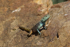 Southern Rock Agama male (Agama atra) (zentience) Tags: reptile reptiel lizard agamidae koggelmander herpetology akkedis herps herping