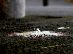 Smashed in Passing (Robert Cowlishaw (Mertonian)) Tags: smashed acedia blues useless sadness despair concrete cement grounded canon powershot g7x mark ii canonpowershotg7xmarkii mertonian robertcowlishaw sublime pink white hawaii thebigisland
