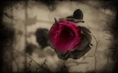Les fleurs du mal - Charles Baudelaire (Delphine Wild) Tags: canon eos flower fleur poésie poetry baudelaire rose romantisme monochrome rouge 2colors redblack