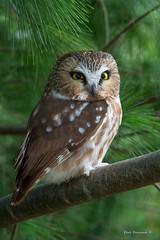 Saw Whet Owl on a branch (Earl Reinink) Tags: owl raptor bird animal earl reinink earlreinink sawwhetowl uataaduaha