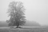 Sheep under a tree (Helena Normark) Tags: fog mist lonetree treeinfog sheep skjetlein sørtrøndelag norway norge sonyalpha7ii a7ii carlzeissplanart50mmf17 cy50mm17