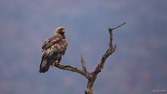 Aquila chrysaetos. (petia_mitreva) Tags: petevoditel bulgaria eagle wildlife wild wildlifephotography nature beautiful bird