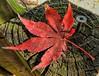 Red Japanese Maple Leaf (clarkcg photography) Tags: maple red redjapanesemaple leaf veins onesingleautumnleaf smileonsaturday onesingleleaf cof004dmnq