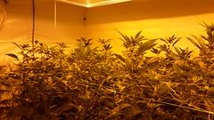 20150419_101703 (CannaPsy) Tags: hydroponics flood drain indoor medical cannabis marijuana weed horticulture high pressure sodium hps og