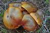 Suillus collinitus (Lucas Gutiérrez) Tags: suilluscollinitus hongo funghi boletaceae sierradeljaral pinocarrasco motril granada granadanatural lucasgutierrezjimenez