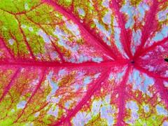 Leaf Veins (Stanley Zimny (Thank You for 28 Million views)) Tags: leaf red green botanical garden wavehill veins