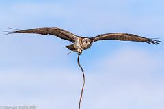 Osprey, Hervey Bay, Australia (Manuel ROMARIS) Tags: australia osprey herveybay queensland urangan au