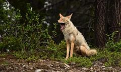 Lazy Daze, Kananaskis Country, Alberta, Canada (christopherhawkinsimages.com) Tags: wildlife coyote forest kananaskis country alberta canada