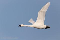 Tundra Swan (Matt Shellenberg) Tags: riverlands migratory sanctuary riverlandsmigratorybirdsanctuary missouri tundra swan tundraswan