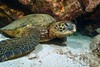 pit stop (BarryFackler) Tags: animal life creature organism being fauna marinelife sealife seacreature zoology biology ecology marinebiology cmydas turtle honu hawaiiangreenseaturtle reptile cheloniamydas seaturtle marinereptile greenseaturtle sand vertebrate marine marineecosystem marineecology nature barryfackler barronfackler bigisland bay bigislanddiving coralreef coral aquatic water westhawaii saltwater hawaii southkona honaunau sea dive kona scuba hawaiiisland sealifecamera hawaiicounty island pacificocean sandwichislands diving honaunaubay hawaiidiving konadiving pacific underwater konacoast hawaiianislands reef polynesia ocean outdoor undersea tropical ecosystem