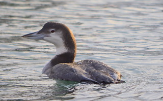 A SALT WATER WINTERING LOON.  IT HAS HER WINTER ATIRE ON UNTIL THE SPRING.  (COASTAL WATERS OFF THE PACIFIC NORTHWEST.)