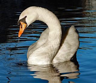 Rishton Swan