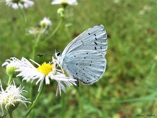 Butterfly 1527