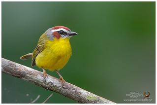 Rufous-capped Warbler / Reinita Gorricastaña