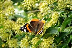 Een paradijs voor Atalanta-vlinders -2 (Ervanofoto) Tags: deutschland niedersachsen uelzen ervanofoto nikon coolpixp7700 coolpix allemagne germany duitsland nedersaksen lowersaxony bassesaxe lüneburgerheide lueneburgerheide vlinder papillon schmetterling atalantavlinder vanessaatalanta vulcainpapillon admiralschmetterling atalanta lepidoptera