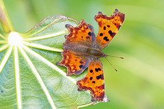 Comma, Burntisland, Fife, Scotland (Terathopius) Tags: comma burntisland fife scotland unitedkingdom uk greatbritain gb polygoniacalbum nymphalidae